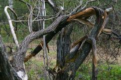 Alter gebrochener Baum im Wald Lizenzfreies Stockfoto