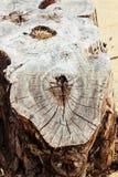Alter gebrochener Stumpf in einem Wald Lizenzfreie Stockfotografie