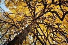 Alter gekrümmter furchtsamer Baum im Herbsthintergrund Merkwürdige verdrehte Niederlassungen und gelbes Laub Stockfotografie