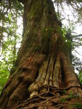 Alter gewundener Baum Stockbilder