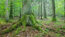 Alter gezierter Baum mit großen Wurzeln lizenzfreies stockbild