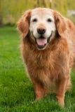 Alter goldener Apportierhund Stockbild