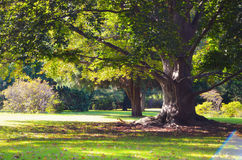 Alter grüner Baum im Park Stockfotos