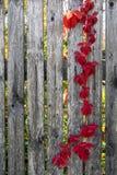 Alter grauer Zaun mit den dunkelroten und Burgunder-Blättern stockbilder