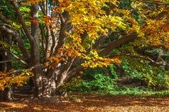 Alter großer Baum im Herbstwald Stockfoto