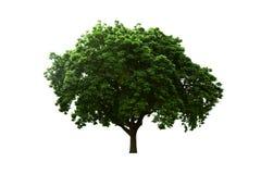 Alter großer Baum lokalisierter weißer Hintergrund Stockfotografie