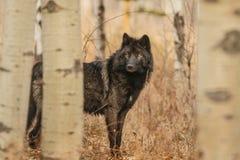 Alter großer schwarzer Wolf versteckt hinter Bäumen, Kanada, wildes schauendes Tier, Mutter Natur, Fauna lizenzfreies stockfoto