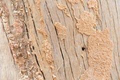 Alter Holzfußboden mit Termitenverschachtelung stockbild