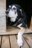 Alter Hund in der Hundehütte Stockfotografie