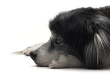 Alter Hund, der sich hinlegt Stockbild