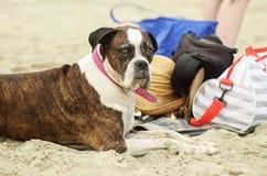 Alter Hund, der Tag am Strand tränkt in der Sonne u. in der Zeit mit Familie genießt Stockfoto