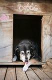 Alter Hund, der Tatze in der Hundehütte leckt Stockfotografie