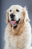 Alter Hund des goldenen Apportierhunds. Stockfoto