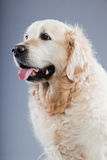 Alter Hund des goldenen Apportierhunds. Lizenzfreies Stockfoto