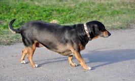 Alter Hund geht Lizenzfreie Stockfotos