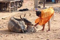 Alter indischer Mann, der ein Kalb mit Brot einzieht Lizenzfreies Stockfoto