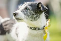 Alter Jack Russell Terrier stellen Porträt im Sonnengesichtsporträt gegenüber stockfotos