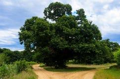 Alter Kastaniebaum Stockbild
