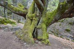 Alter Kastanienbaum der Jahrhunderte Ambroz-Tal Erstaunliche Natur Spai lizenzfreie stockbilder