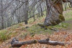 Alter Kastanienbaum der Jahrhunderte auf Ambroz-Tal Erstaunliche Natur stockfoto