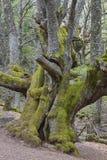 Alter Kastanienbaum der Jahrhunderte auf Ambroz-Tal Erstaunliche Natur stockbilder