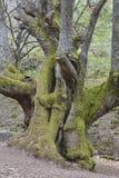 Alter Kastanienbaum der Jahrhunderte auf Ambroz-Tal Erstaunliche Natur stockfotos