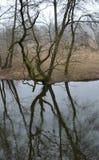 Alter knotiger Baum wird im Fluss reflektiert Stockfotografie