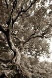 Alter knotiger Buchenbaum an den Craggy Gärten auf blauen Ridge Parkway Stockfoto