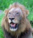 Alter Löwe Stockbild