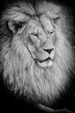 Alter Löwe bw Stockfotografie