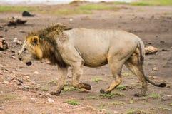 Alter Löwe, der in die Savanne von Amboseli-Park geht Lizenzfreie Stockfotografie