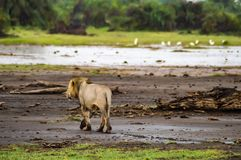 Alter Löwe, der in die Savanne von Amboseli-Park geht Stockfotografie
