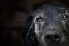 Alter Labrador-Apportierhund. Stockbild