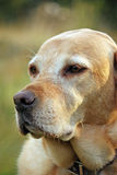 Alter Labrador-Apportierhund Stockfotografie