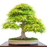 Alter laubwechselnder Bonsaibaumahornbaum mit grünem Laub Lizenzfreie Stockfotografie