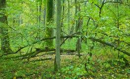 Alter laubwechselnder Wald mit Lindenbaum Stockbilder
