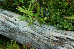 Alter Lichtstrahl und grüner Fireweed Lizenzfreies Stockfoto