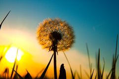 Alter Löwenzahn und Sonne Stockfotografie