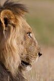 Alter männlicher Löwe Stockfotografie