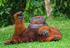 Alter männlicher Orang-Utan, der auf dem Gras liegt Lustige Haltung indonesien Die Insel von Kalimantan Borneo Lizenzfreies Stockfoto