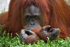 Alter männlicher Orang-Utan, der auf dem Gras liegt Lustige Haltung indonesien Die Insel von Kalimantan Borneo Lizenzfreie Stockfotos