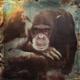 Alter männlicher Schimpanse der Schmutzart Lizenzfreie Stockfotos