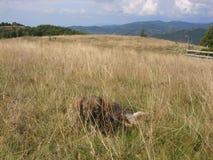 Alter müder Hund auf dem Gebiet Stockfotografie