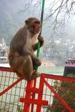 Alter Makaken-Affe auf Brücke Stockfoto