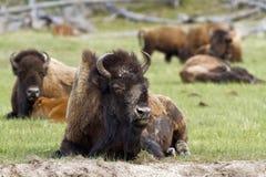 Alter Mann-Bison Stockfotos