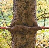 Alter Metallpfosten eingebettet in einem Baumstamm Stockfotos