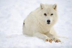 Arktischer Wolf (Canis Lupus arctos) Lizenzfreie Stockbilder