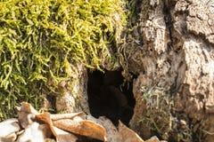 Alter moosiger Baumstumpf Stockfoto