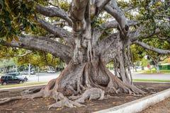 Alter Moreton-Bucht-Feigen-Ficus ist buchstäblich mit Beverly Hills im Laufe der Jahre gewachsen Stockbilder
