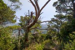 Alter mysteriöser Baum im Wanderweg zu verlassener Festung von Sutomore Lizenzfreies Stockfoto